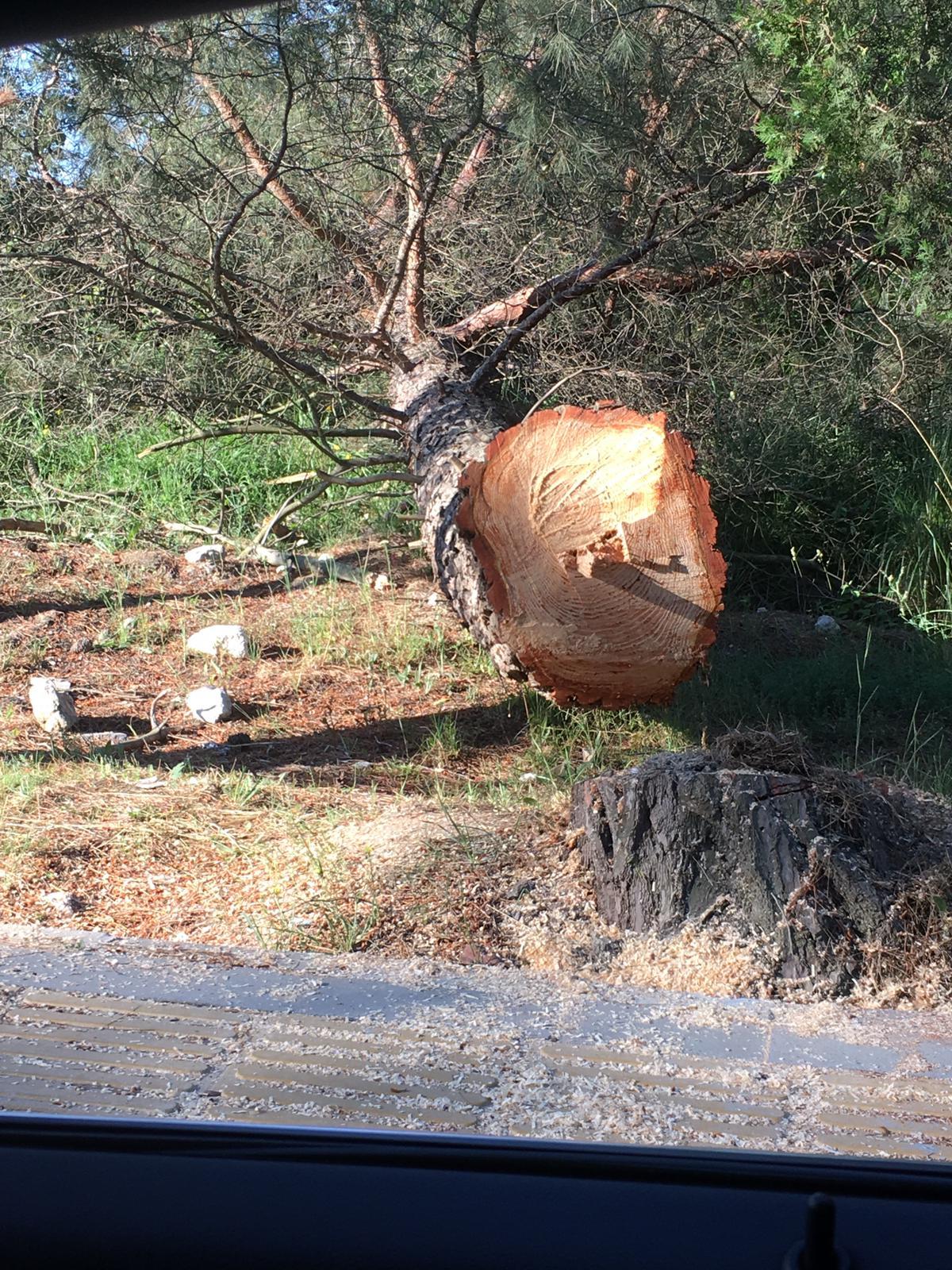 Hastane Bahçesinde Çam Ağacı Katledildi!